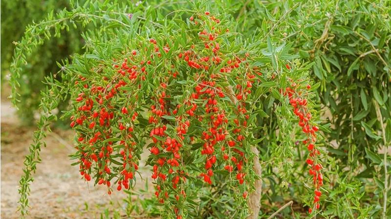 你知道枸杞的種植方法和生長環境嗎?—【成都齊力紅食品有限公司】