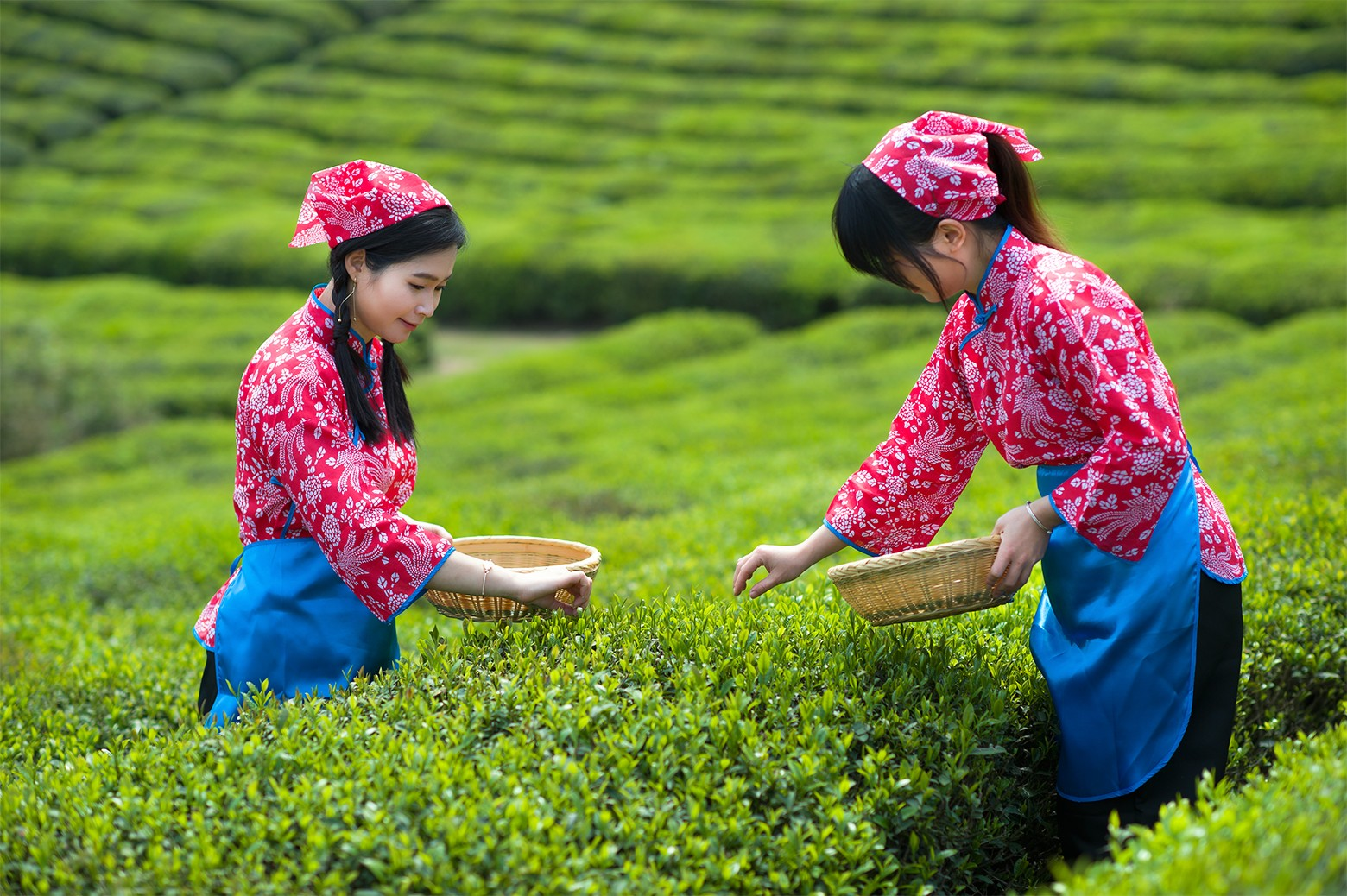红茶茶园.jpg