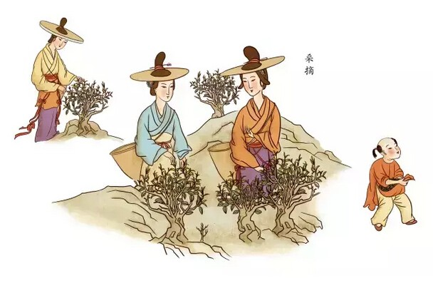 1.红茶采摘.jpg