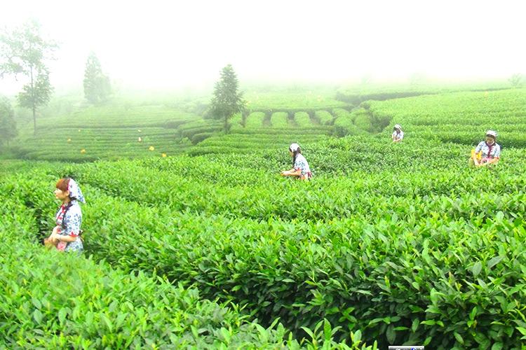 茶山1.jpg