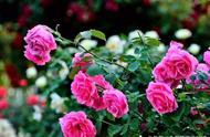 日韩港三类片花卉种植篇:玫瑰花的栽培技术