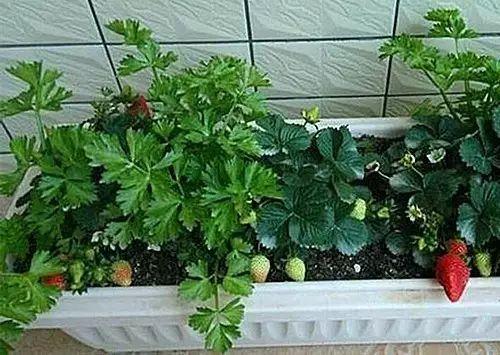 阳台栽草莓的方法,草莓自己种吧,能吃整个夏天!