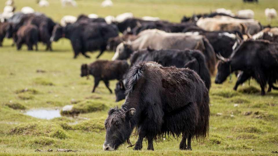 稀缺的牦牛數量