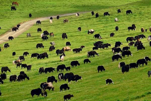 在高原,關于牦牛糞的妙用——最后兩點絕對想不到
