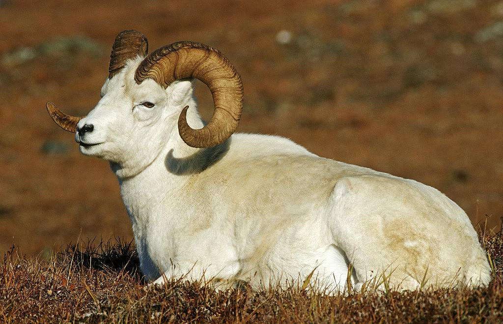 农村的养殖户在选择公羊时,头上有角的还是没有角的好呢?