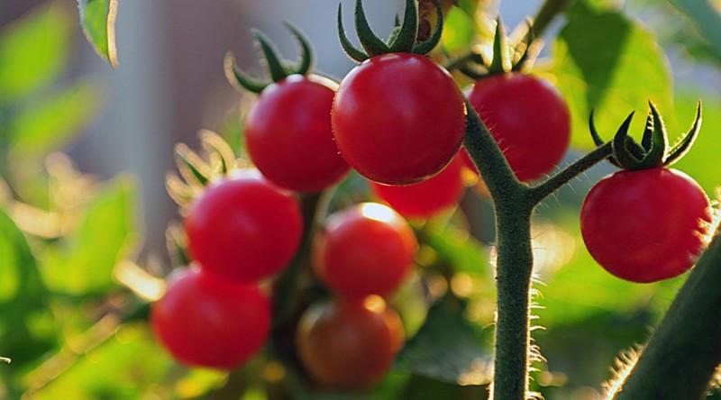 番茄连作障碍如何解决你知道吗?