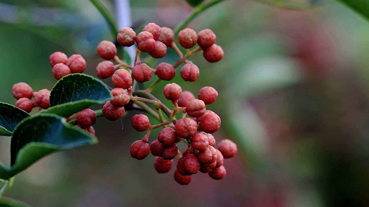 花椒樹栽培技術|大紅袍花椒栽培的氣候生態條件