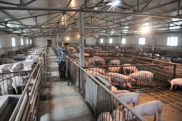 2018年生豬養殖行業供大于求,非洲豬瘟疫情有利于緩解供需矛盾