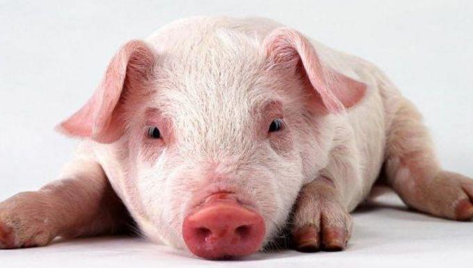 深思:面對生豬養殖業的困局 養殖戶該怎樣自救?