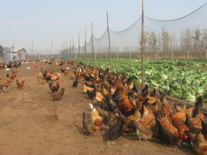 鸡养殖基地