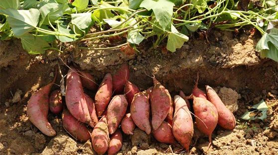 紅薯選擇:選用生長期長的紅薯和淀粉含量高的品種