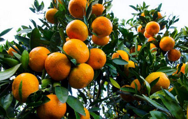 沃柑和脐橙可以混栽吗?管理方便吗?
