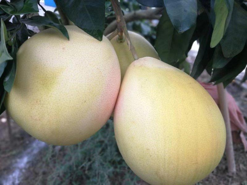 三红柚  ·  柑橘(大雅柑、耙耙柑、春见)