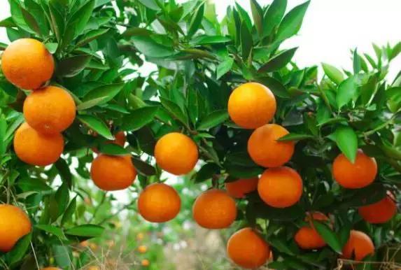 推荐几个有潜质的柑橘品种,供果农参考