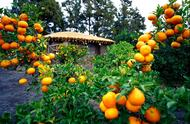 不同ballbet体彩官网品种的栽培要求以及种植区域