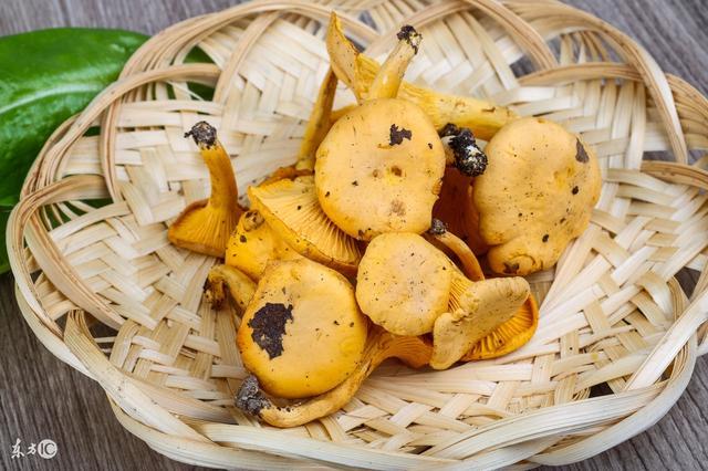 舌尖上的鸡油菌,很常见却人们很少吃到!