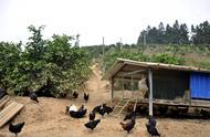 养鸡手艺|山地放养鸡的豢养管理