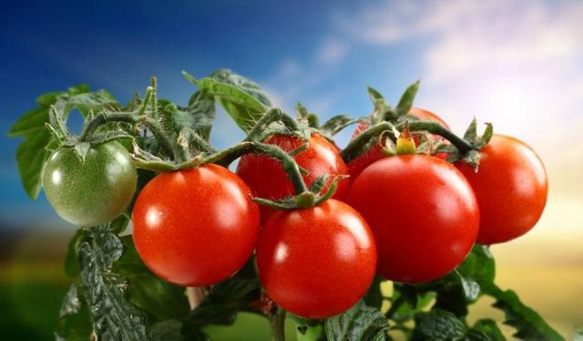 番茄白素感化取成效 怎样准确服用番茄白素