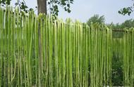 古代皇帝吃的贡菜,如今被误认为莴苣,你吃过吗