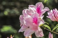 """想要""""杜鹃花""""枝繁叶茂、花开满枝?这些栽种经验要知道"""