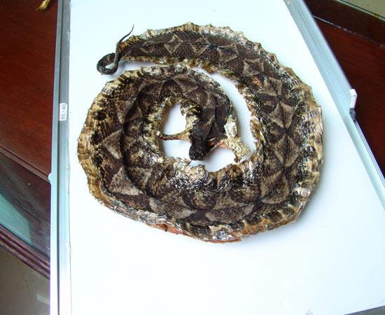 盘形五步蛇干