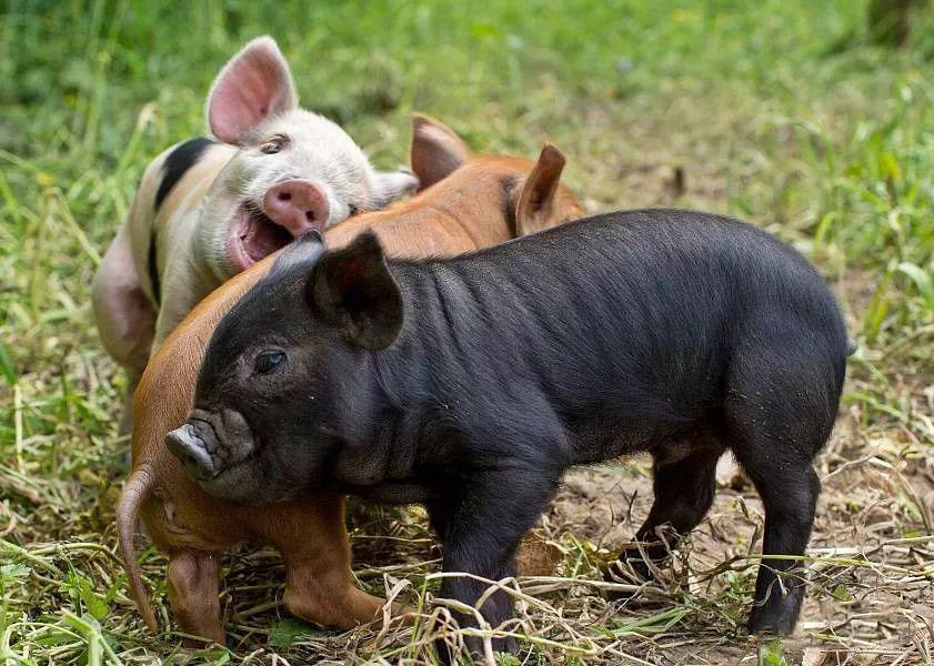 黑猪肉比白猪肉好吃理由