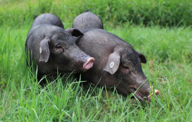 """如何""""生态养猪""""发家致富?有以下几种模式供您参考"""