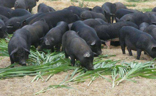 黑猪有哪些特点?如何进行大面积养殖?有哪些技术要求?