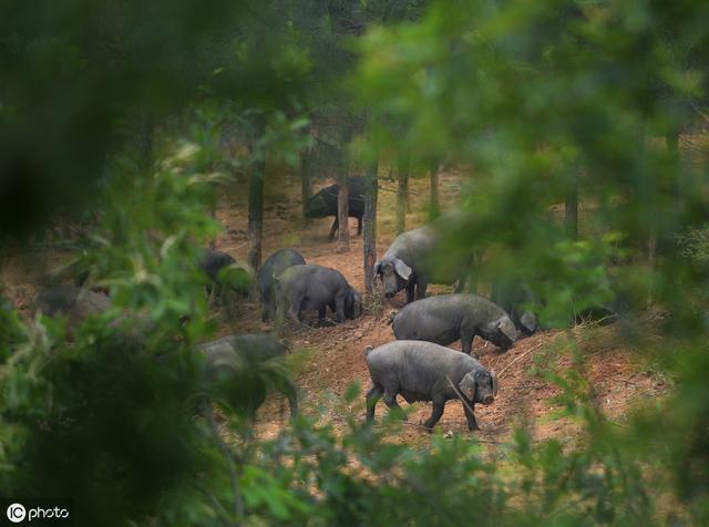 浅谈生态猪养殖技术的发展趋势