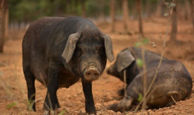 有人说黑猪肉要比白猪肉好吃?为什么养殖场不专门养殖黑猪