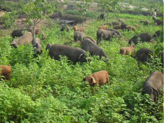 生态养猪的技术 生态养猪新模式!
