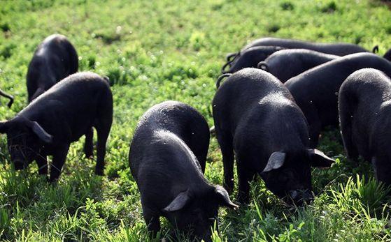 消费者怎么分辨黑猪肉与白猪肉