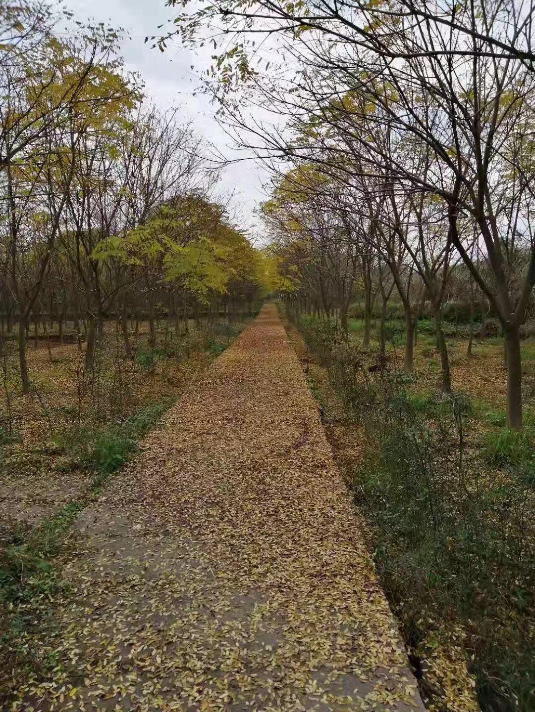 原生态大规格肥皂荚树