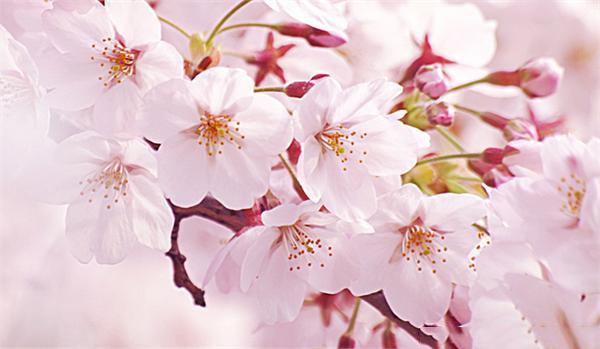 不同的櫻花,修剪有區別!