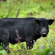 苗寨放養黑毛豬