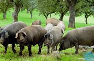 什么是万博体育manbetex论坛养猪?万博体育manbetex论坛养猪的养殖方法