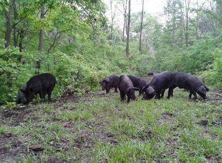 如何做好春季猪场的饲养管理工作?