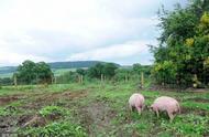 探究万博体育manbetex论坛猪养殖技术及未来发展趋势