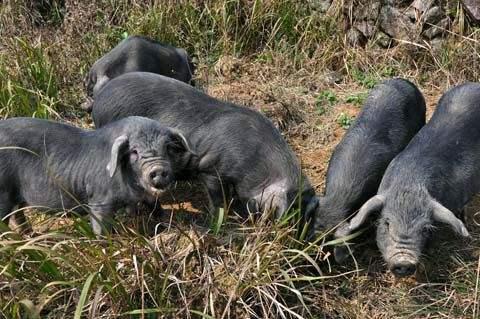 猪场应该如何选择驱虫药及确定驱虫时间?