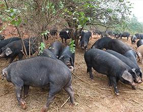 黑猪养殖基地
