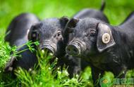 养殖课堂:林地能建猪圈吗?林地养猪都有哪些要点?