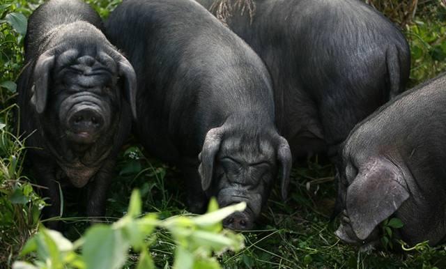 冬季饲养黑猪要注意保温