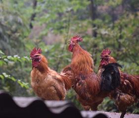 跑山鸡养殖