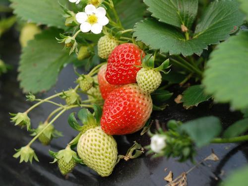 冬季草莓如何防冻
