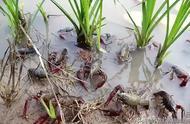 养殖小龙虾难在哪里要注意哪些问题?