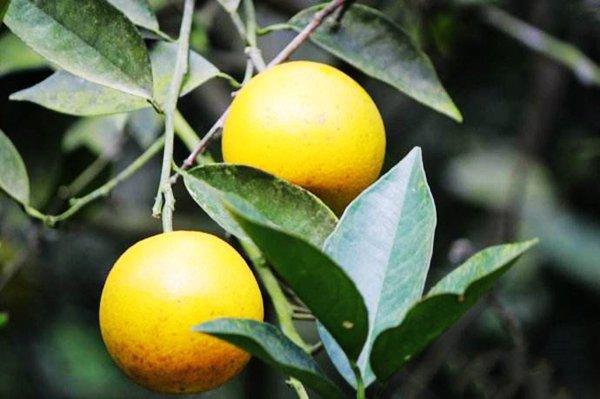 淺談臍橙幼年期栽培管理方案