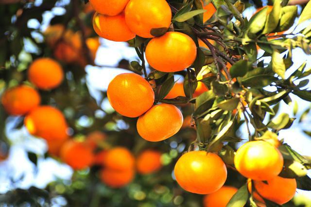 沃柑幼樹怎麽修剪?第一年沃柑樹可以這樣施肥!