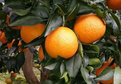 女性多吃柑橘类水果能防病 可预防乳腺癌!