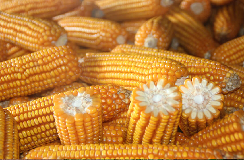 上市量增加 玉米易跌難漲