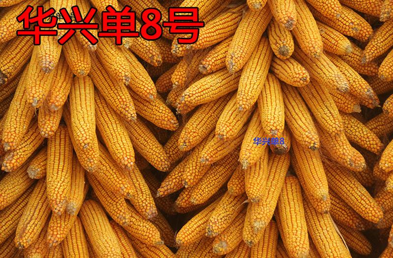 玉米秸稈還田應注意的問題